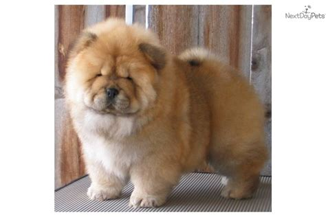 panda chow chow puppies for sale chow chow puppies for sale picture and images