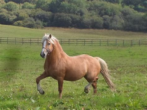 welsh cob section d temperament stunning palomino licensed welsh cob section d stallion