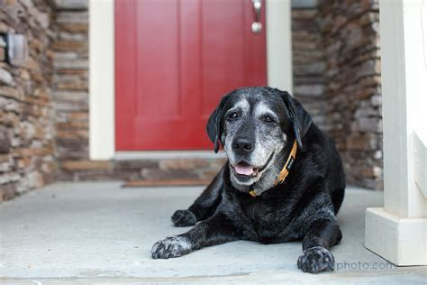 senior dogs in praise of senior dogs atlanta lab rescue
