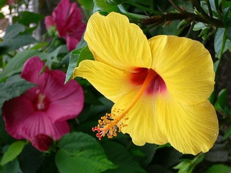 which state has a hibiscus yellow quot hibiscus rosa sinensis quot and red quot hibiscus