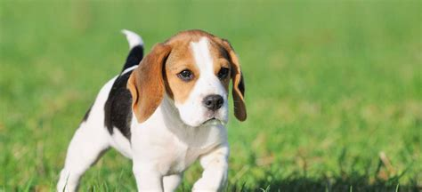 puppies pa puppies for sale in pa find your puppy at greenfield puppies