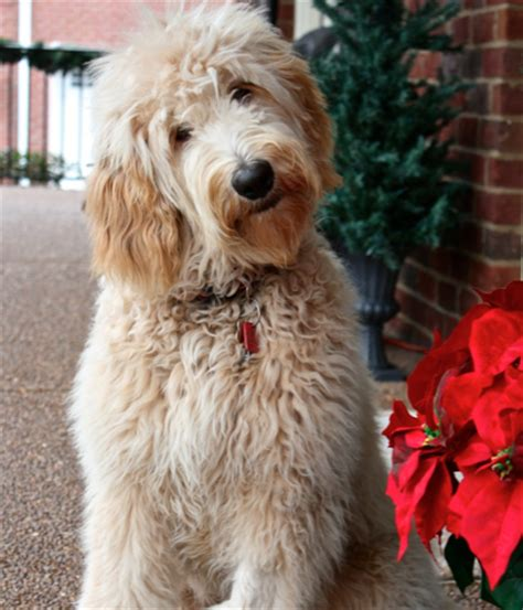 goldendoodle puppy coat types coat types colors grooming goldendoodles of tn