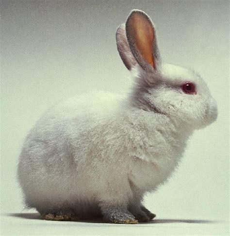 12 Md Rabbit Bery White i am white rabbit warehousenine