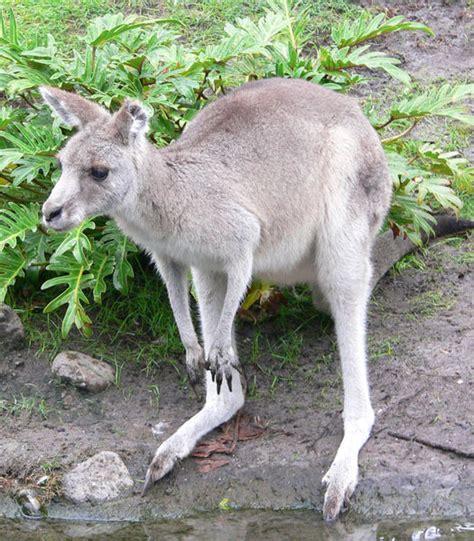 kangaroo swing file kangaroo1 jpg wikimedia commons