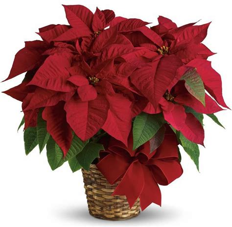 tips for the care of holiday poinsettia plants from phoenix flower shops