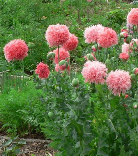 poppy flower start to growing your own backyard diy home garden project bored fast food