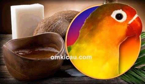 Manfaat Minyak Kelapa Untuk manfaat minyak kelapa untuk burung kicauan om kicau