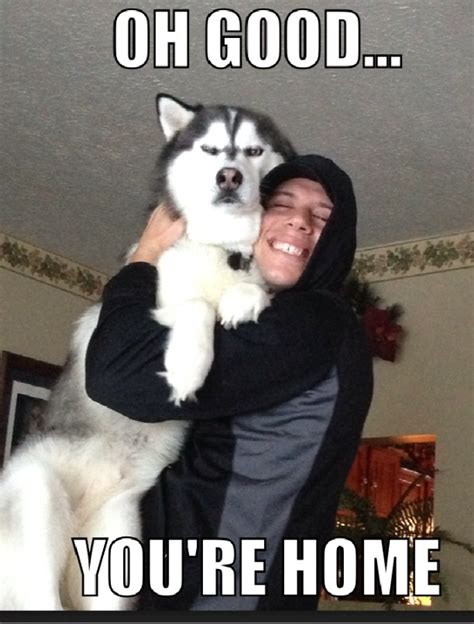 Husky Meme - 17 best images about husky memes on pinterest ryan