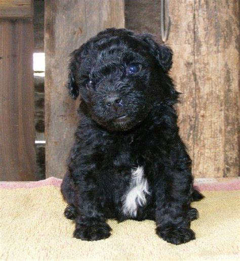 puli puppies for sale 17 best images about puli hungary on for sale puppys and dreads