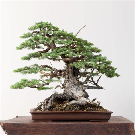 bonsai bonsai mirai bonsa 239 pinterest