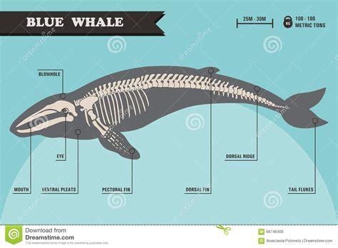 blue part blue whale skeleton stock vector illustration of nature
