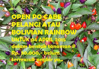 Bibit Cabe Pelangi promo cabe pelangi atau bolivian rainbow tanaman hidroponik