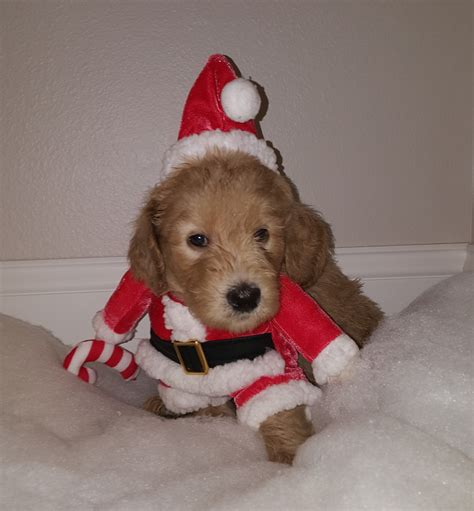 goldendoodle puppies for sale vancouver doodle vancouver goldendoodle puppies sale portland