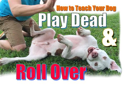 teach to roll how to teach your to roll and quot play dead quot fast