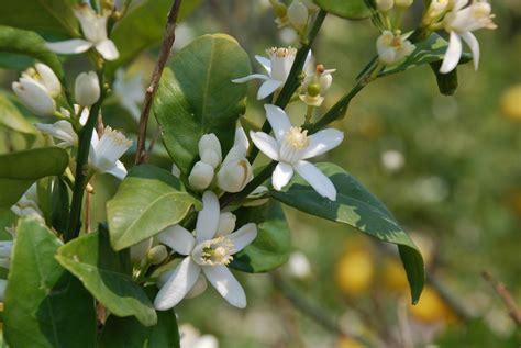 zagara fiore fiore di zagara foto immagini piante fiori e funghi