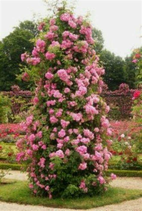 tips on planting quot climbing roses quot on a rose trellis my climbing roses beautiful