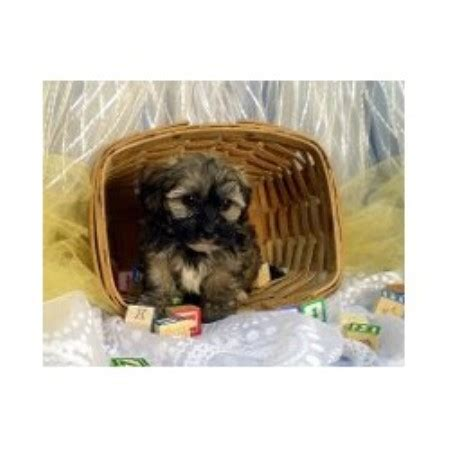 kansas havanese fisher s puppy havanese breeder in havensville kansas