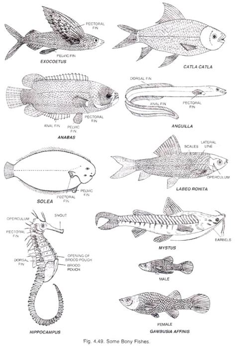 diagram of a bony fish class osteichthyes with diagram bony fishes