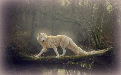 white wolf wallpapers wallpaper cave beautiful wolf wallpapers wallpaper cave