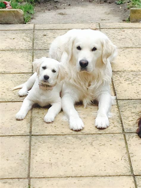 white golden retriever the stud white golden retriever scunthorpe lincolnshire pets4homes
