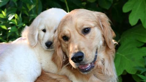 golden retriever puppies wa northwest goldens a reputable breeder of golden retriever puppies in the pacific