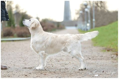 magik golden retrievers kennel giddygold golden retriever http www giddygold dk