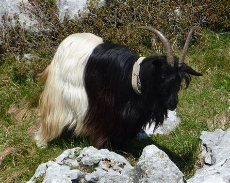 alimentazione capra immagini di capre