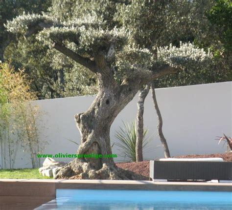 Entretien Des Oliviers by Emejing Jardin Taille Olivier Images Amazing House