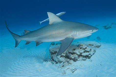 Bull Shark - Shark Facts For Kids
