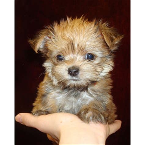 morkie puppy for sale morkie puppy for sale at teacups puppies and boutique polyvore