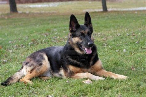 german shepherds for sale german shepherd for sale luton bedfordshire pets4homes