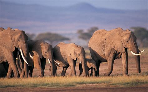 elephant herd   forest animal nice wallpapers hd