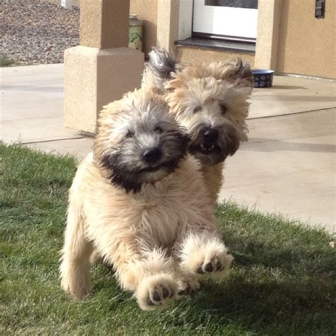 soft coated wheaten cuts 84 best images about soft coated wheaten terrier on