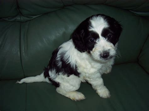 puppy black and white black and white cockapoo puppies www imgkid the