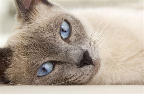 The 10 Most Beautiful Cat Breeds   PawCulture