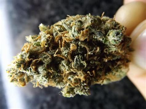 christmas tree kush marijuana strain review yumboldt marijuana