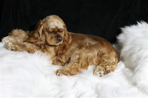 cocker spaniel puppies for sale ohio lake erie cocker spaniels cocker spaniel breeder port clinton ohio