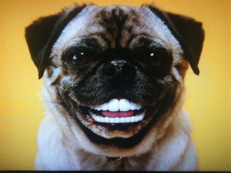 pug with dentures 91 best images about def dental on dental jokes dental assistant humor