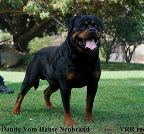 purebred rottweilers ruelmann rottweilers inc german rottweiler puppies for sale german rottweiler