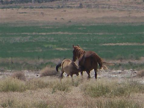 blm mustang adoption requirements us and burro association inc tm the