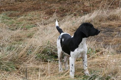 spotted breeds black and white spotted breeds