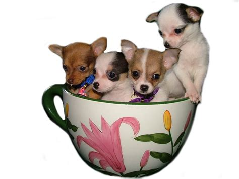 pictures of teacup dogs small puppy teacup breeds picture