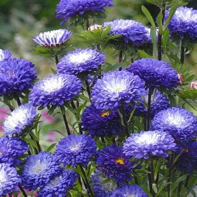 Blue Tipped Flower aster matsumoto blue tipped white harris seeds