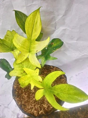 Tanaman Hias Daun Philodendron Keris Variegata tanaman philodendron x sword variegata bibitbunga