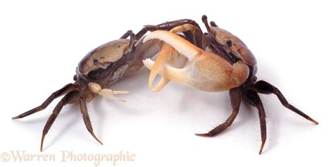 fiddler crabs fighting photo wp06343