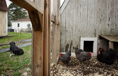 backyard chickens run afoul of the in virginia