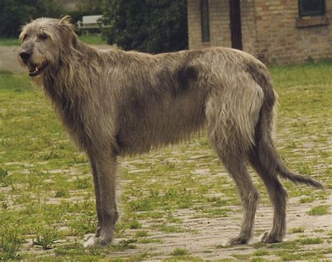 Wolfhound Shedding by Wolfhound Info Temperament Puppies Pictures Lifespan