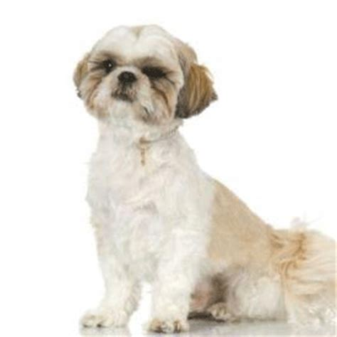 barking shih tzu the shih tzu barking solution master class