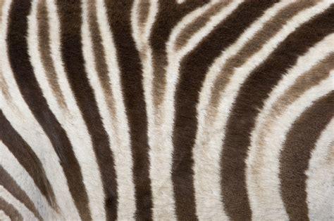 Zebra Print Wallpapers Archives - HD Desktop Wallpapers ...
