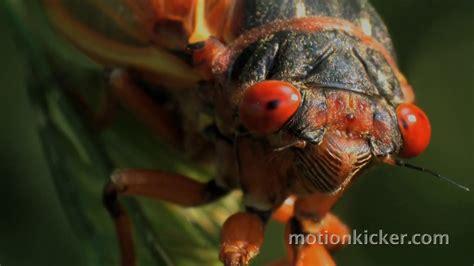 The Cicadas return of the cicadas an educational documentary about 17